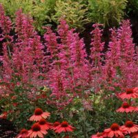 Agastache 'Morello with coneflowers
