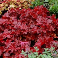Bright Red Coral Bells Foliage of 'Forever Red'