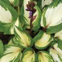 Hosta 'Raspberry Sundae' variegated leaves with red stems