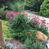 Weeping Fir and Cone Flowers